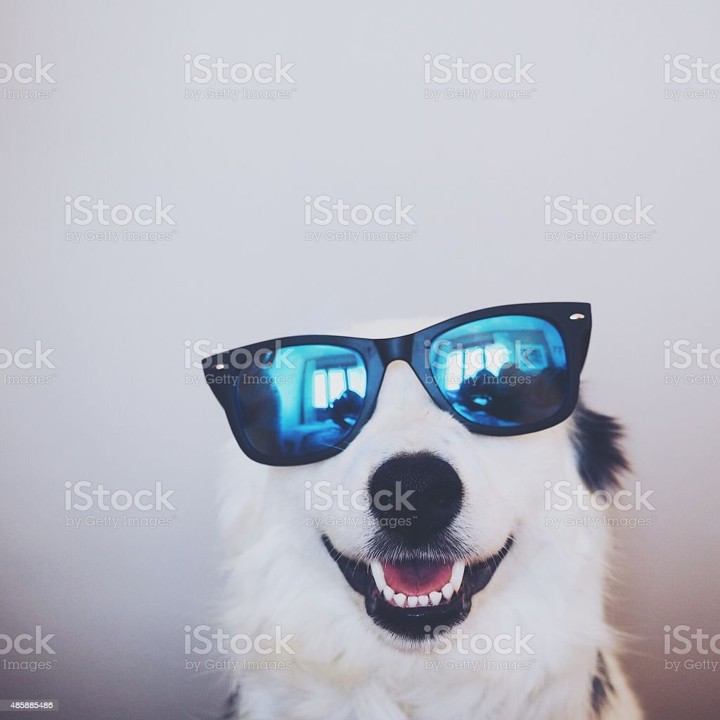 BORDER COLLIE POLARIZADO stock photo