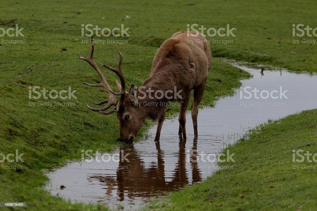 RED STAG stock photo