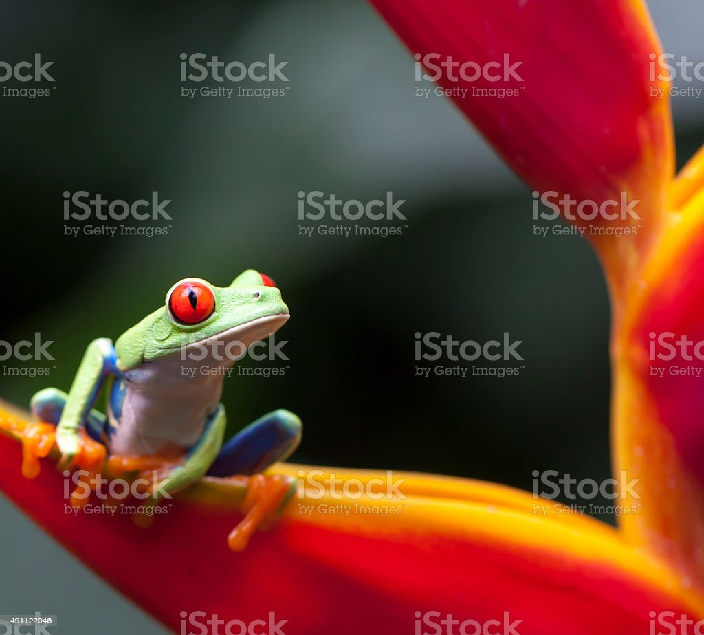 RED EYES FROG, COSTA RICA stock photo