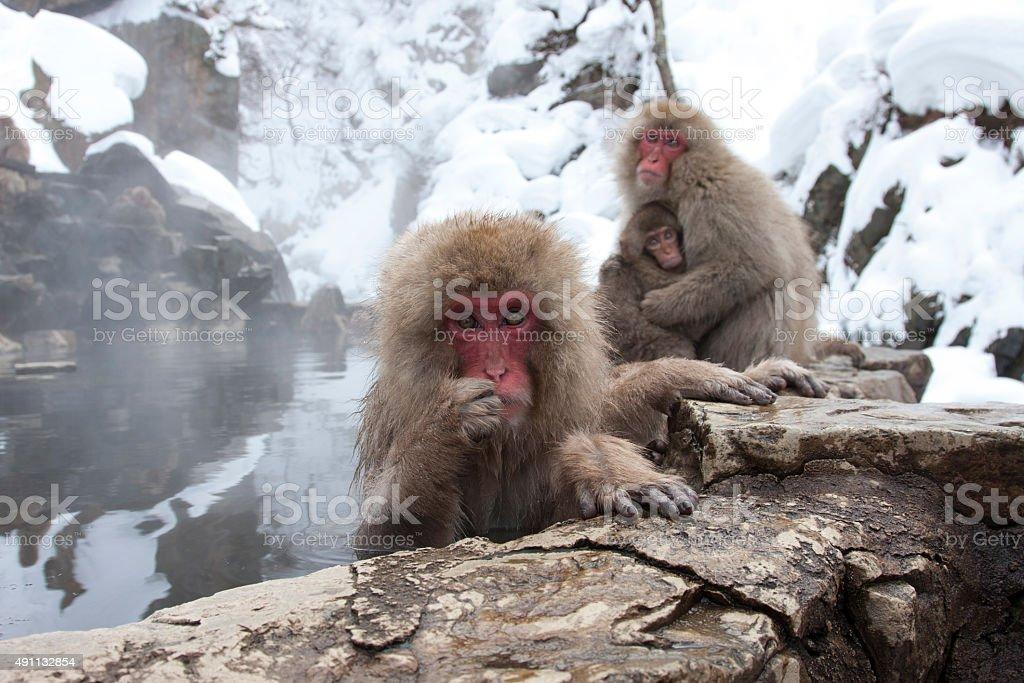 SNOW MONKEYS, NAGANO (JAPAN) stock photo