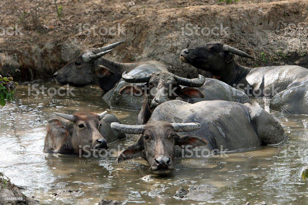 ASIA EAST TIMOR AGRICULTURE BUFFALO stock photo