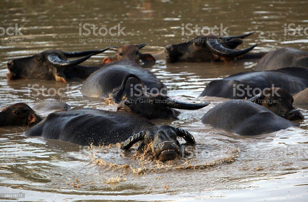 ASIA LAO THA KHAEK AGRICULTURE BUFFALO stock photo