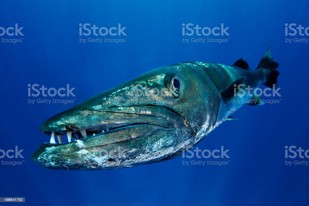BARRACUDA CLOSE stock photo
