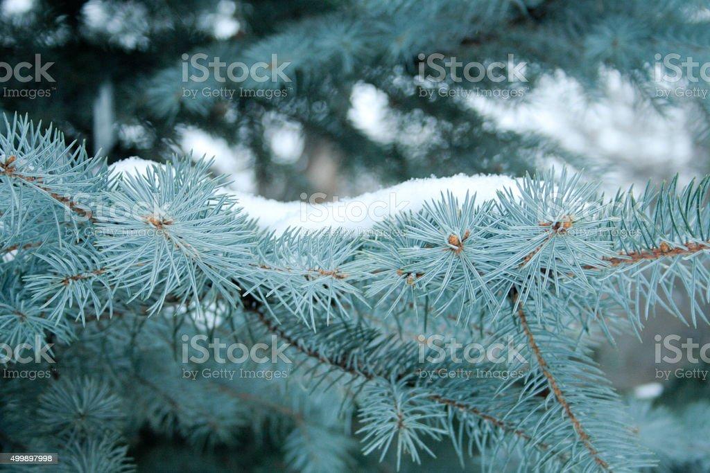 Голубая ель stock photo