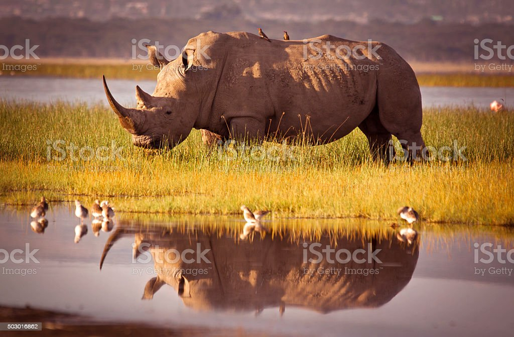 Rhino Reflection stock photo