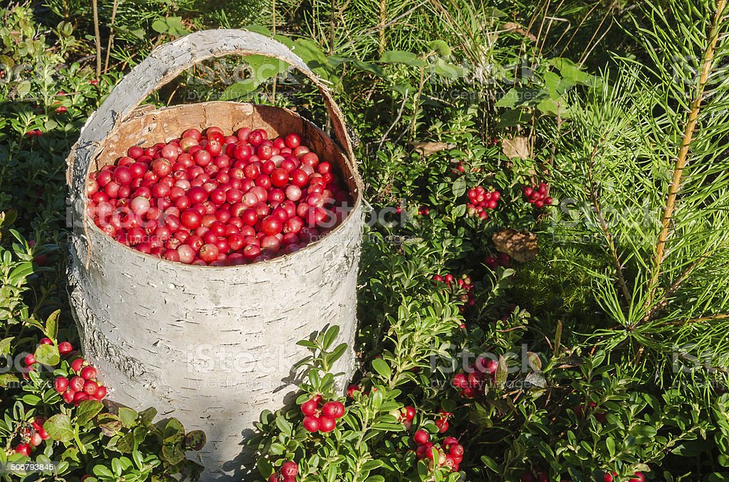 BAST BASKET WITH THE COW-BERRY. stock photo