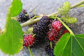 BLACKBERRY / FRUIT