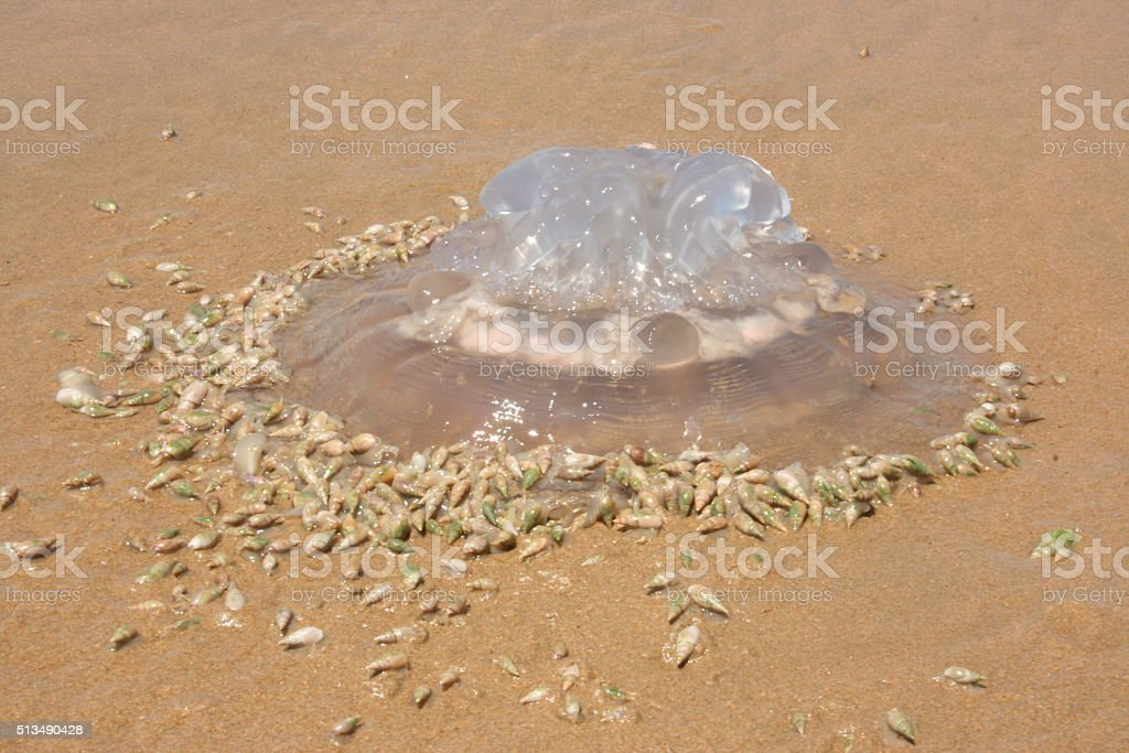 JELLYFISH WASHED IN ON WILDERNESS BEACH, SOUTH AFRICA stock photo