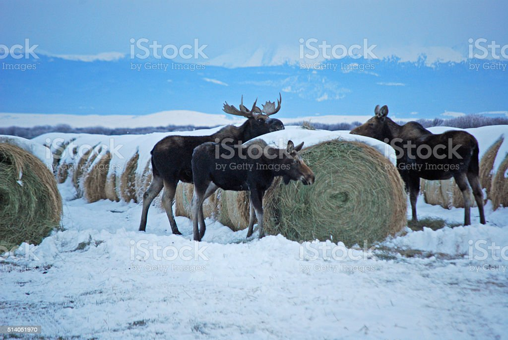 MOOSE CHOWING DOWN stock photo