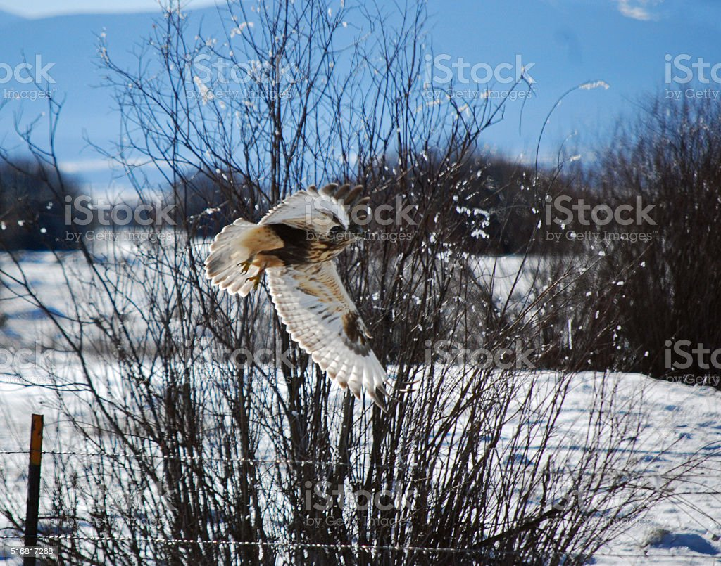 ROUGH LEGGED HAWK IN MONTANA. stock photo