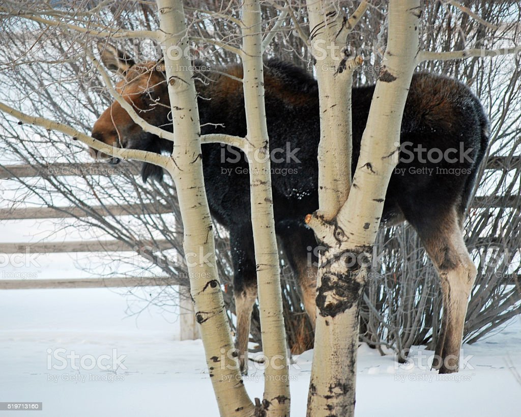 MOOSE, AMONG THE ASPENS. stock photo
