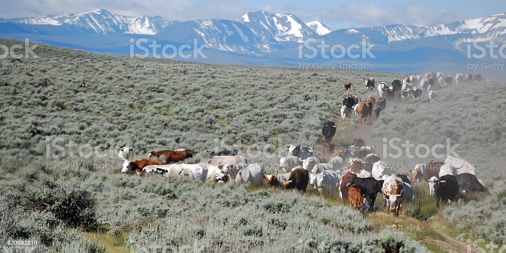 LONGHORN CATTLE GOING TO SUMMER PASTURE. stock photo