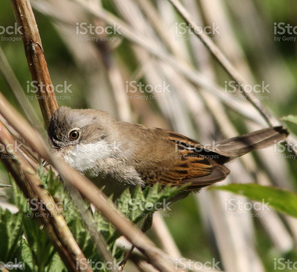THE EYE OF A WHITETHROAT stock photo