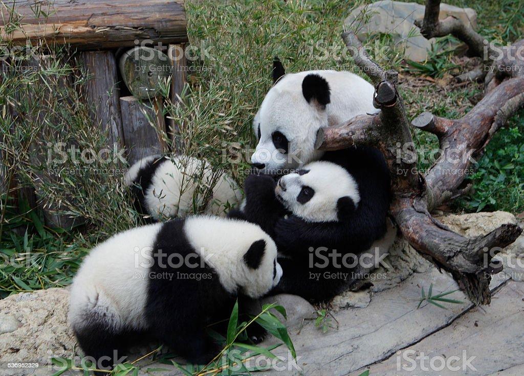 PANDA TRIPLETS HALF-BIRTHDAY stock photo