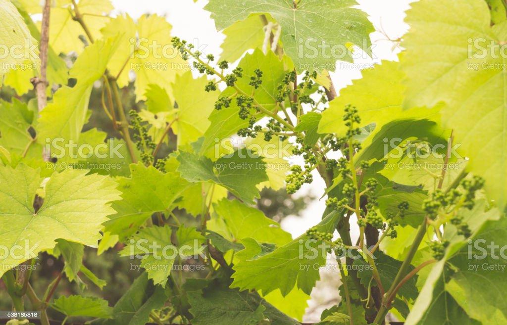 Сырьё для виноделия stock photo