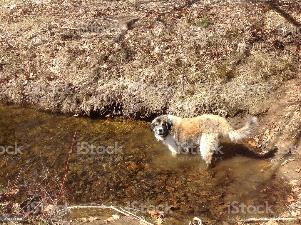 TAN SCRAGGLY DOG IN RIVER stock photo