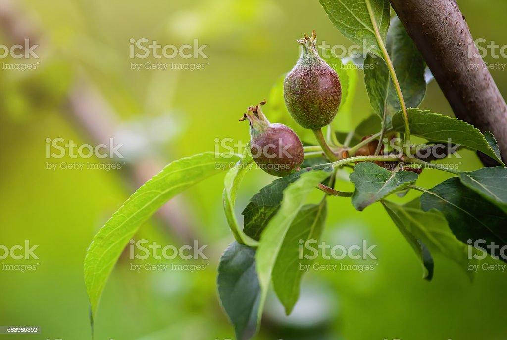 Неспелое яблоко . stock photo