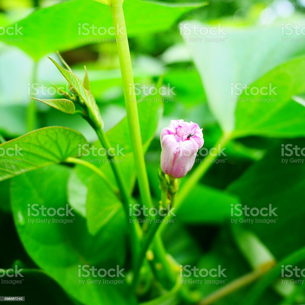 SWEET POTATO FLOWERS stock photo