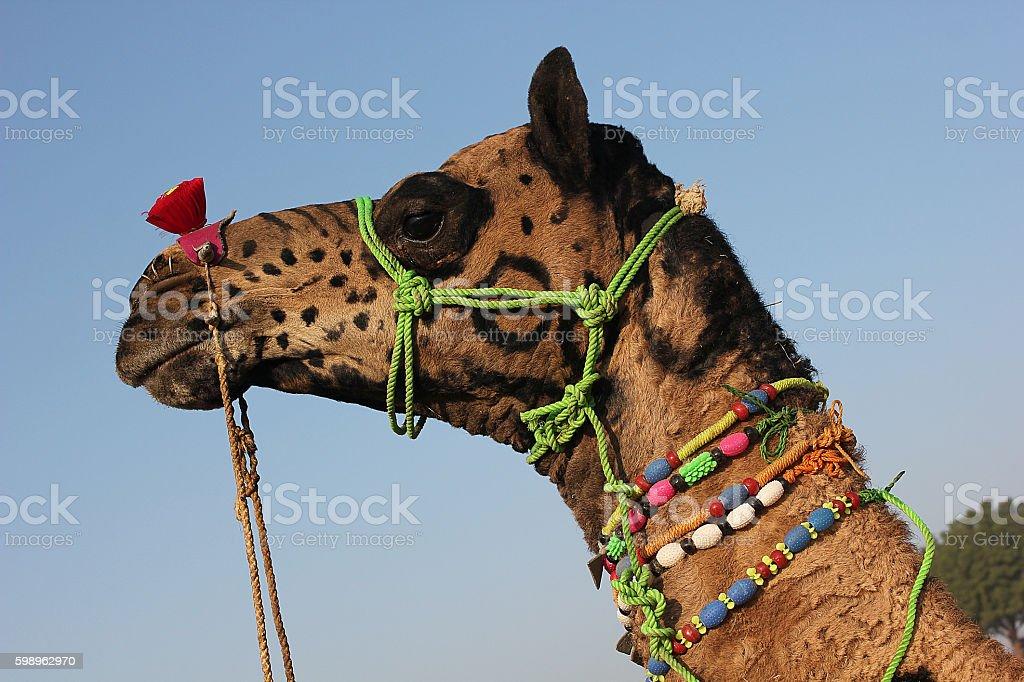 DECORATED CAMEL AT PUSKHAR CAMEL FAIR IN RAJASTHAN, INDIA stock photo