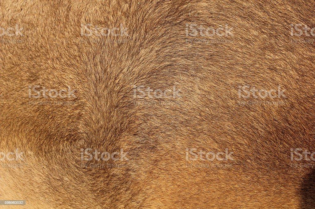 CAMEL AT PUSHKAR CAMEL FAIR IN RAJASTHAN, INDIA stock photo