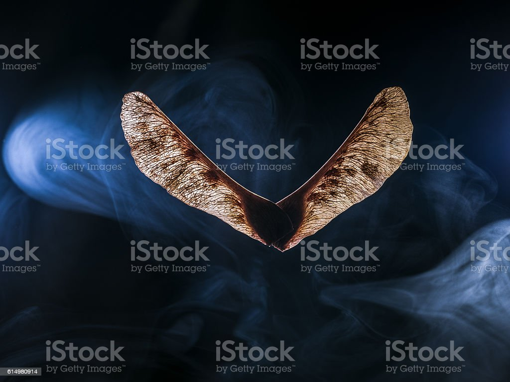 CLOSE-UP OF MAPLE SEED PODS stock photo