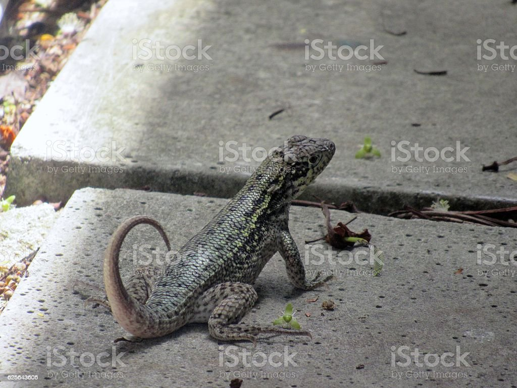 CURL-TAILED LIZARD stock photo