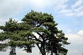 UMBRELLA SHAPED TREE TOP