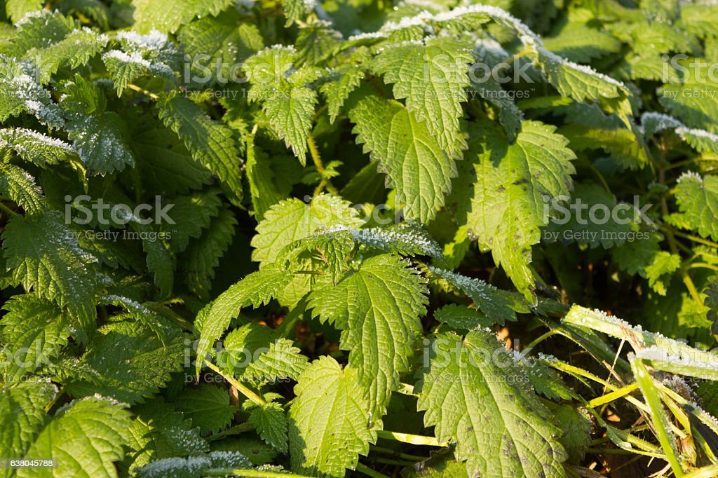 STINGING NETTLE (Urtica dioica) stock photo