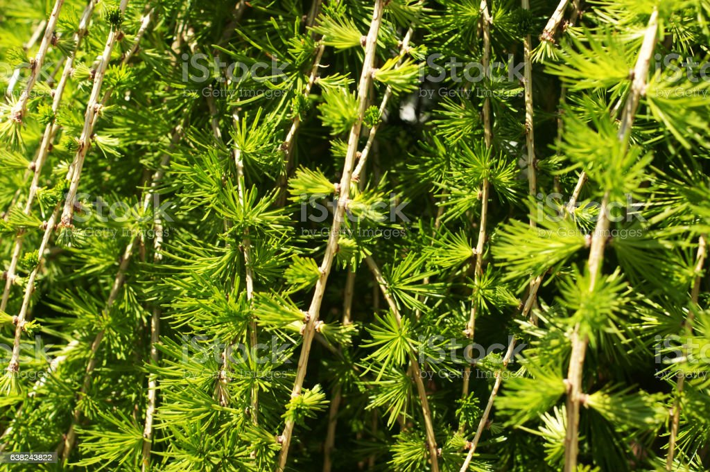 LARIX KAEMPFERI (PENDULA) stock photo
