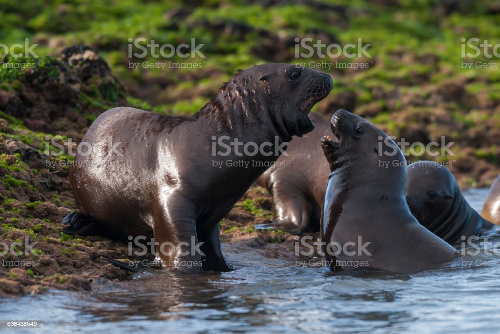 SOUTH AMERICAN SEA LION stock photo
