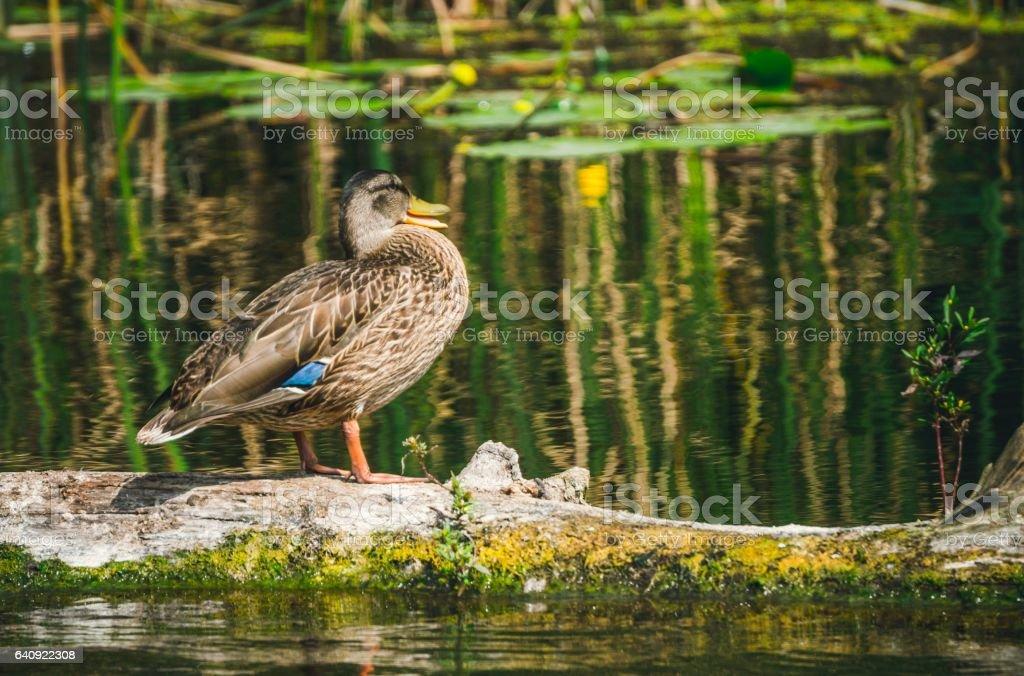 Дикая утка в естественной среде обитания stock photo