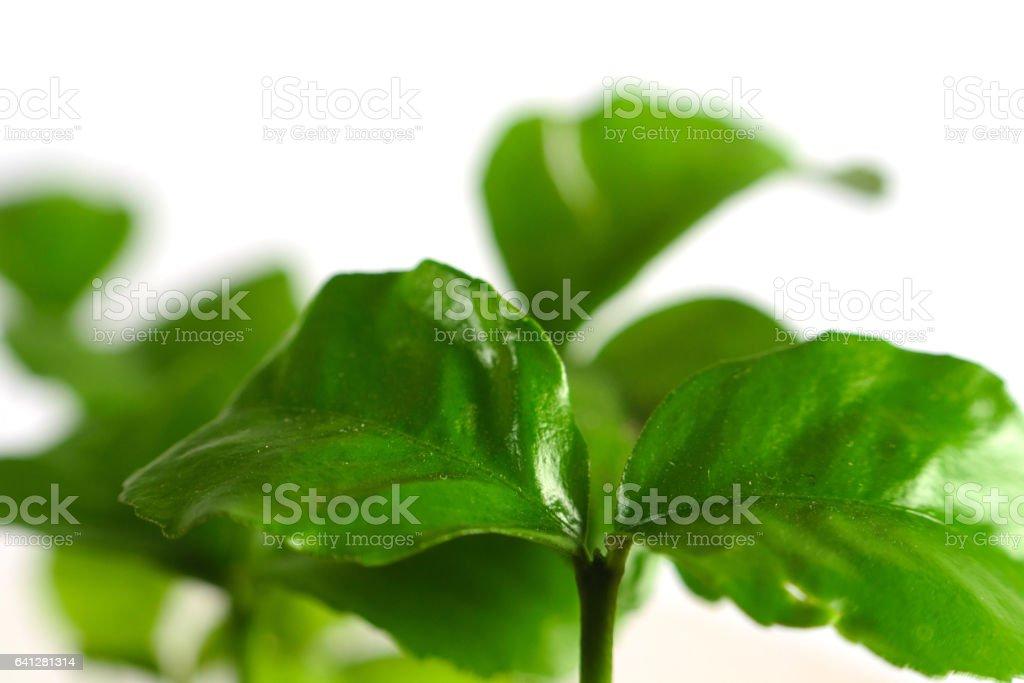 маленький мандарин stock photo