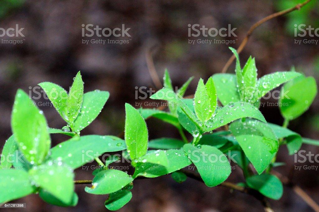 листья кустарника после дождя stock photo