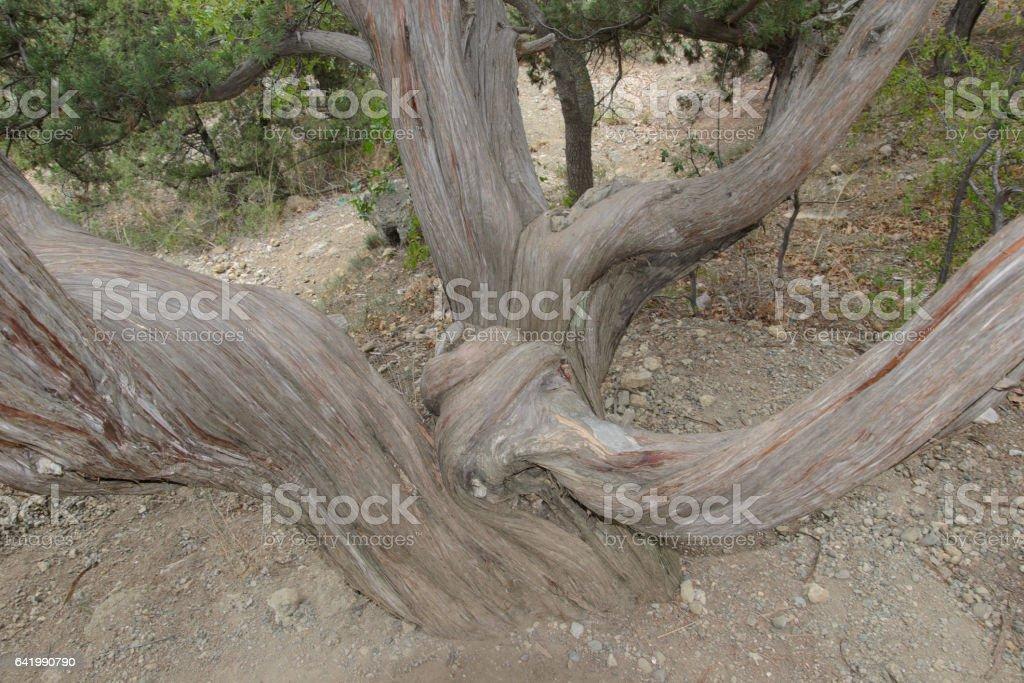 изогнутые стволы дерева stock photo
