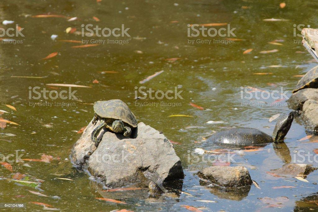 черепаха на камне в пруду stock photo