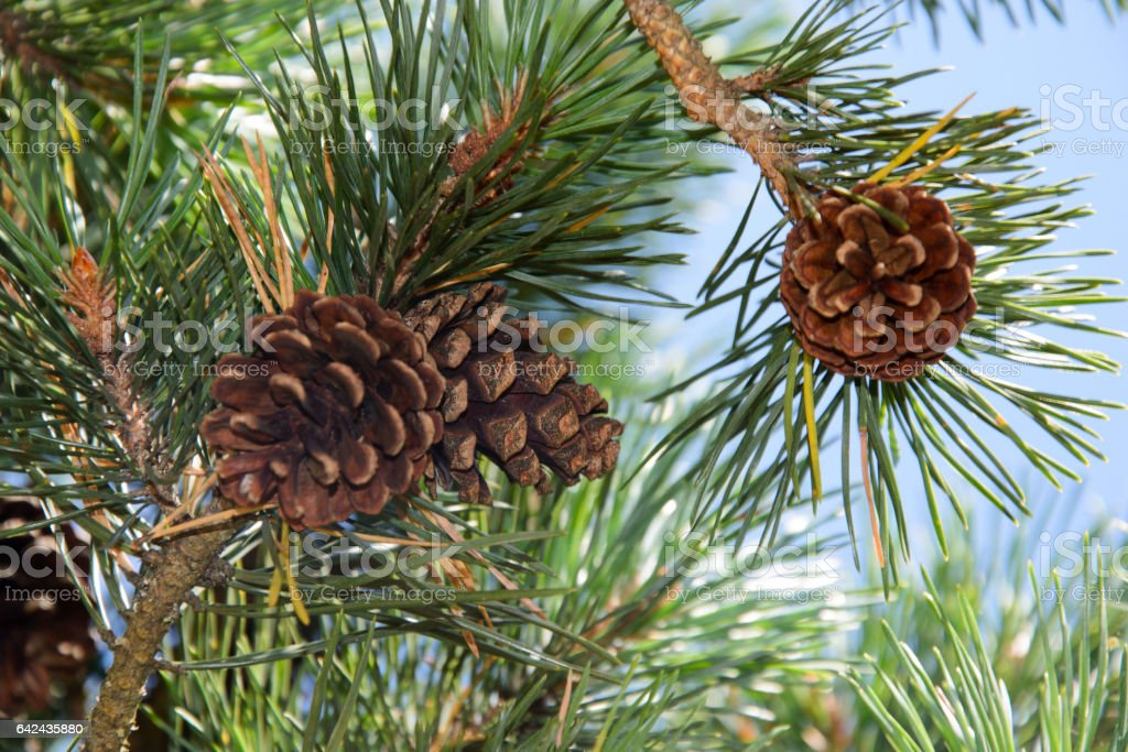 Сосновые шишки на ветвях деревьев с хвоей stock photo