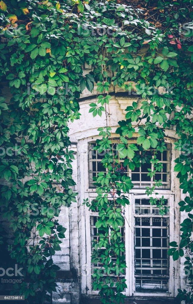 Старое винтажное окно заросшее диким виноградом stock photo