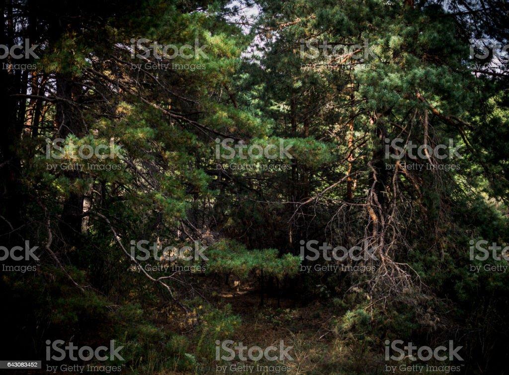 Густые заросли старых сосновых деревьев stock photo