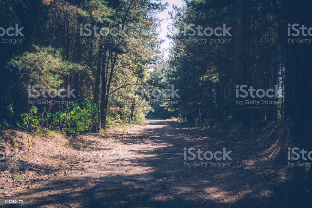 Дорога в сосновом лесу stock photo