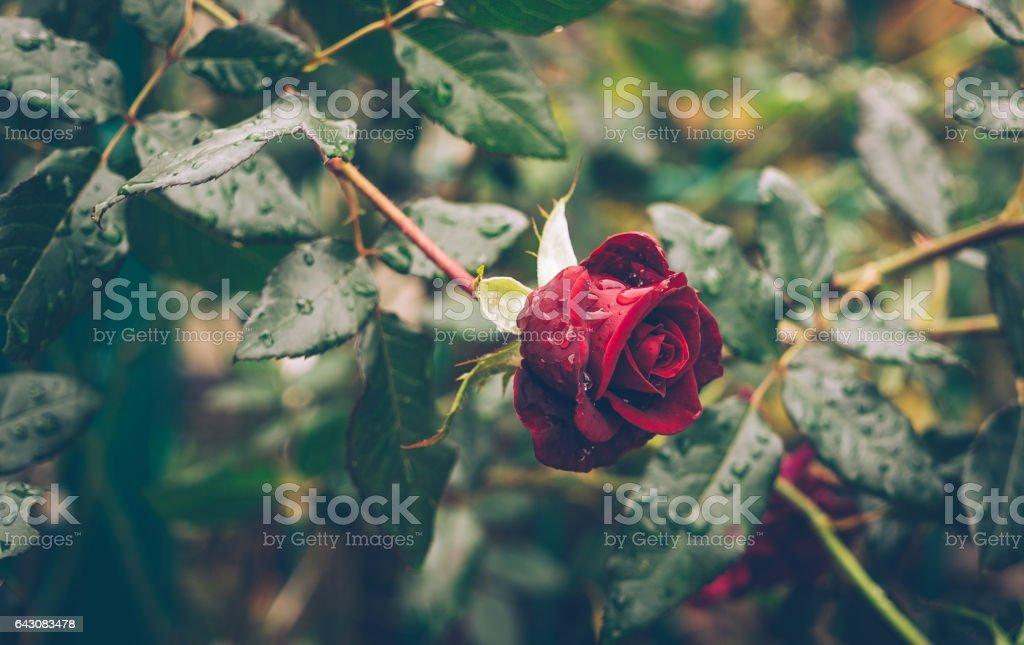 Сад после дождя. Живописный куст алых роз stock photo