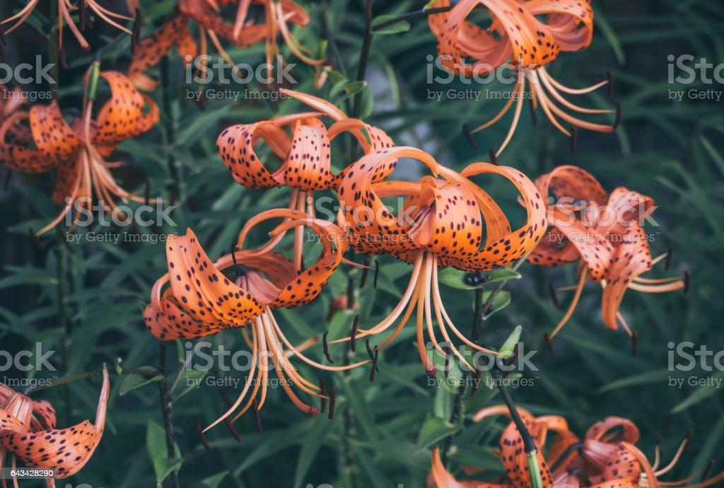 Яркие тигровые лилии в деревенском саду stock photo