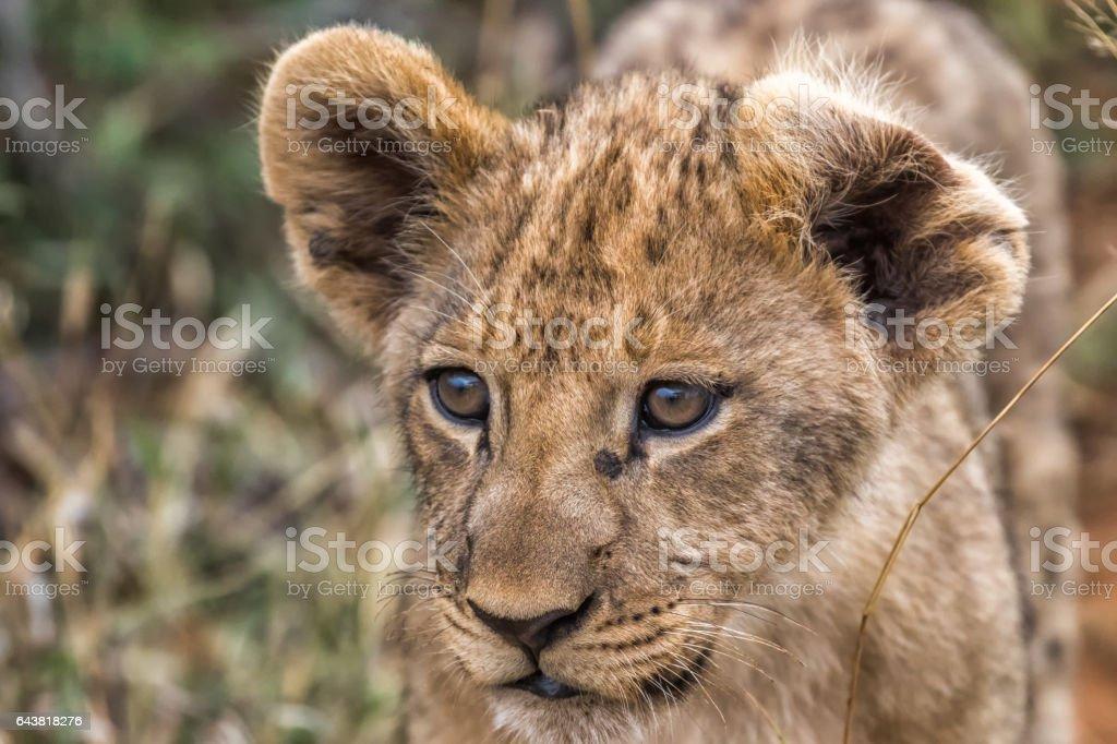 LION CUB AT MADIKWE,SOUTH AFRICA stock photo