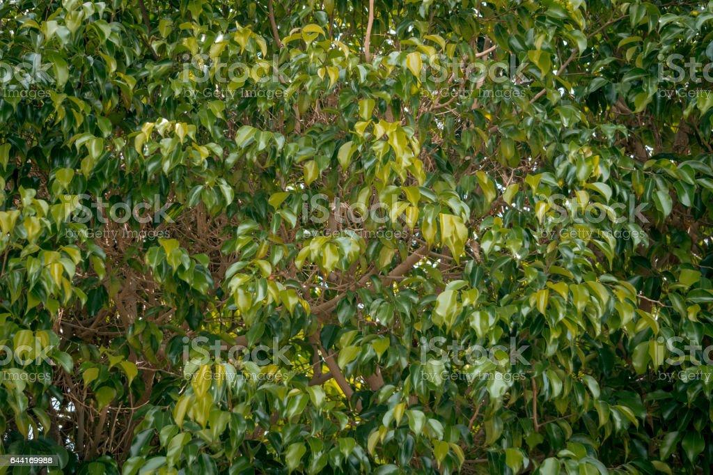 Тропический сад. Зелёный древовидный фикус stock photo
