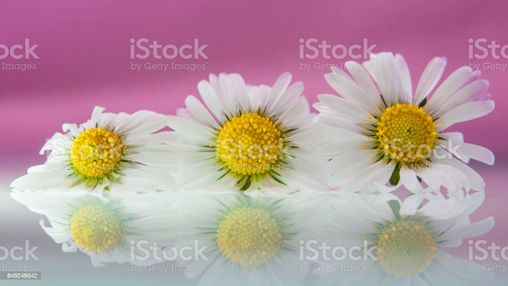 REFLECTION OF DAISIES stock photo