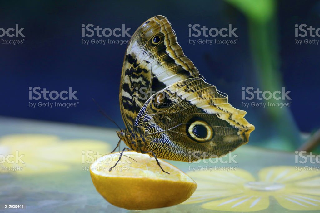 Бабочка Совиный глаз stock photo