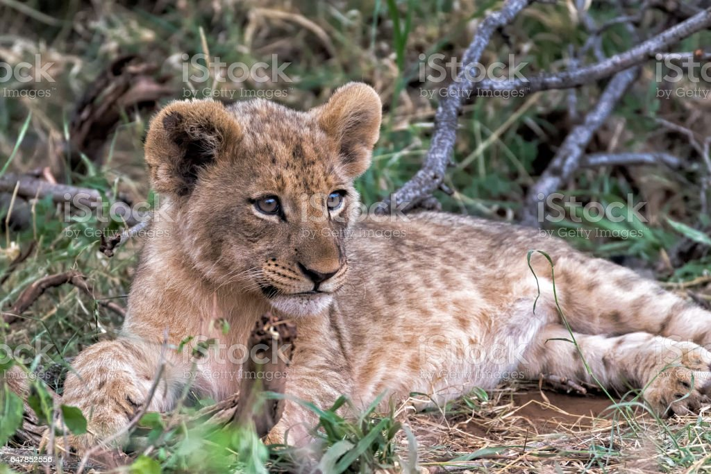 LION CUB LAYING DOWN AT MADIKWE,SOUTH AFRICA stock photo