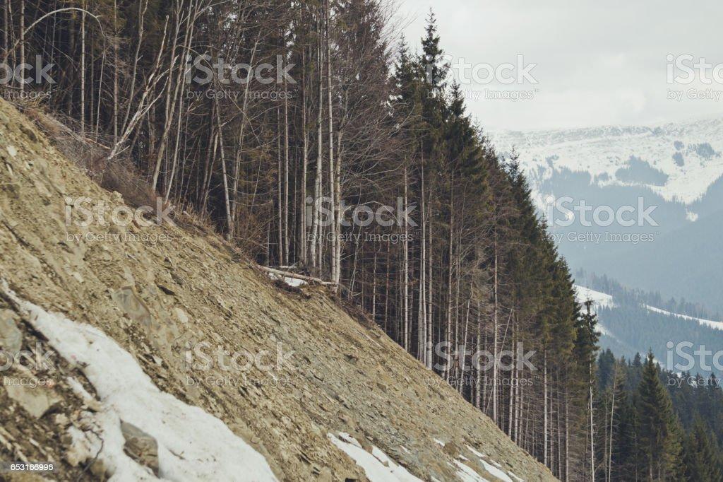 Лесистый склон горы. Густой еловый лес stock photo