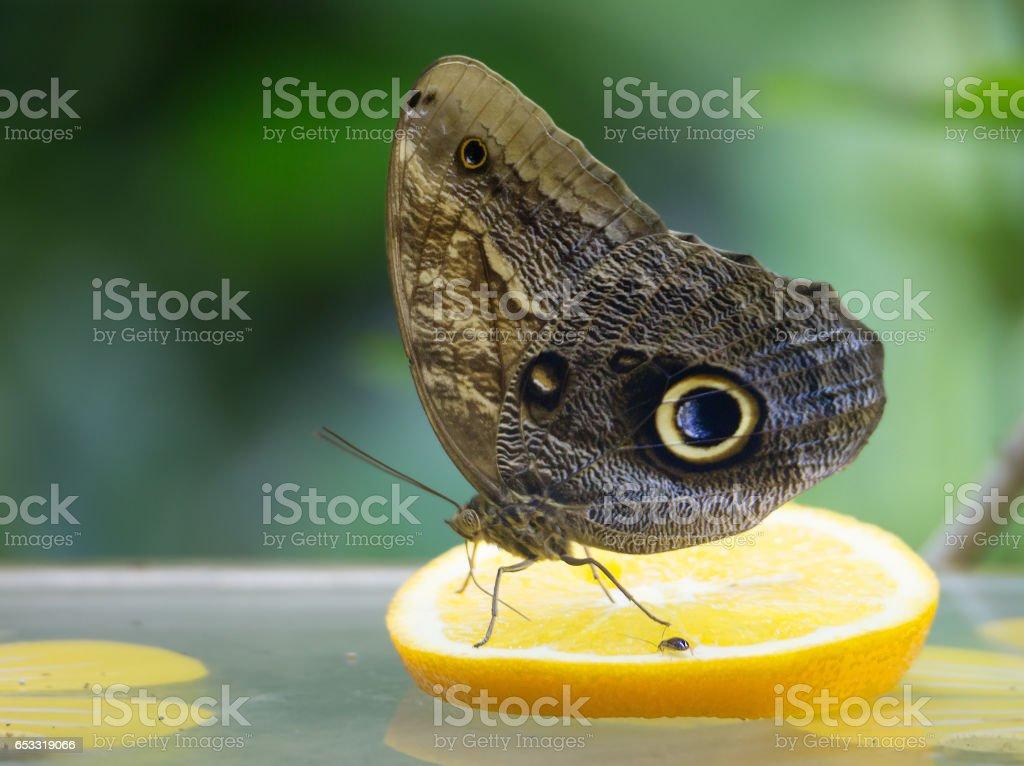 Совиная бабочка stock photo