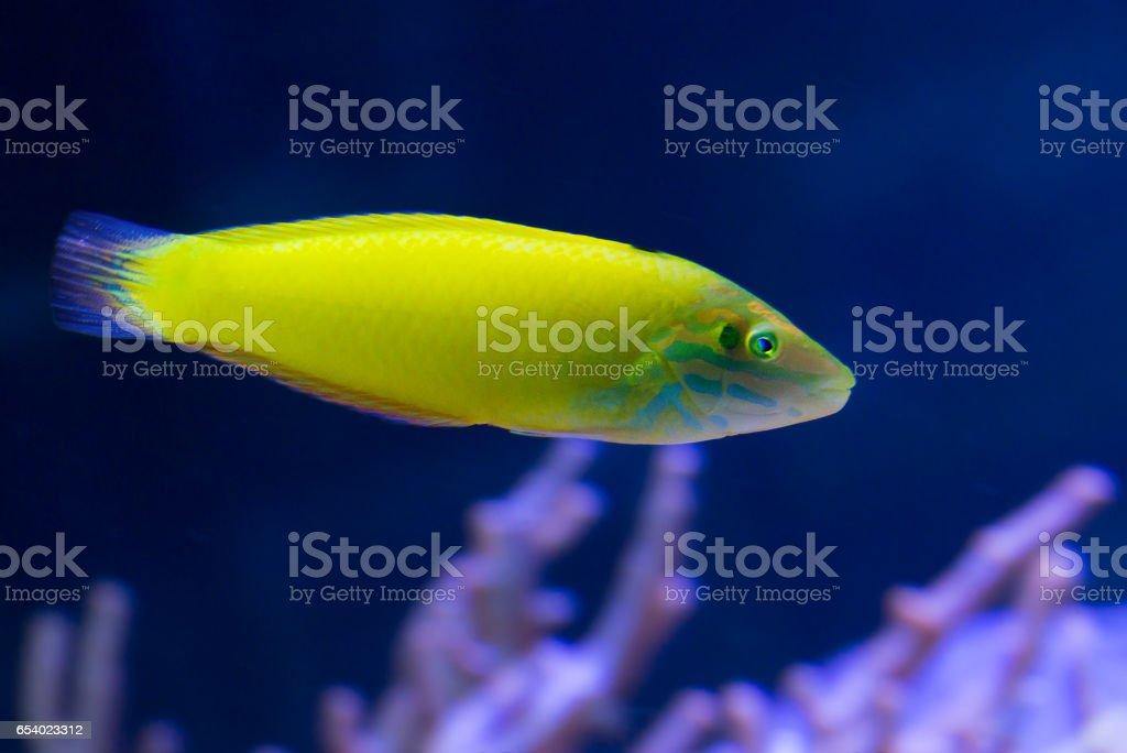 Рыба губан желтый. stock photo