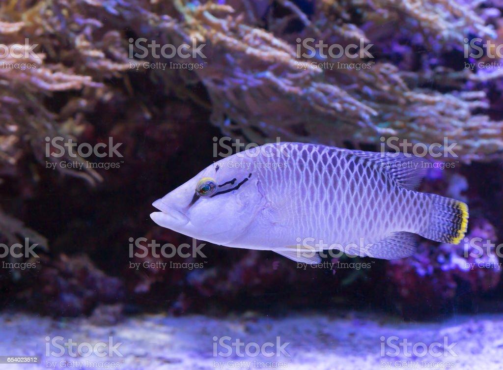 Рыба губан stock photo